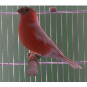 Ongekend Vogels te koop bij Birdshop Eindhoven DF-37